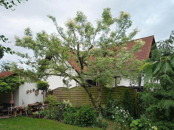 baumpflege in w lfersheim eschenahorn nach dem schnitt baumpflege mirko franz. Black Bedroom Furniture Sets. Home Design Ideas