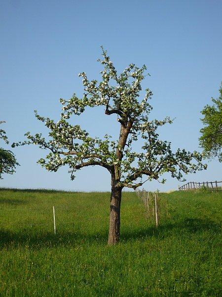 obstbaumschnitt in butzbach apfelbaum im fr hling nach. Black Bedroom Furniture Sets. Home Design Ideas