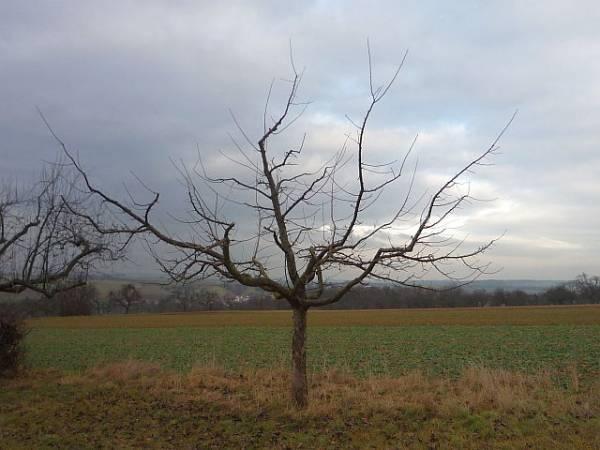 obstbaumschnitt in bad nauheim junger apfelbaum nach dem. Black Bedroom Furniture Sets. Home Design Ideas