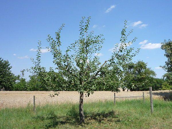 obstbaumschnitt in bad nauheim junger apfelbaum nach dem sommerschnitt 3 baumpflege mirko franz. Black Bedroom Furniture Sets. Home Design Ideas