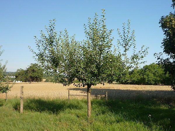 obstbaumschnitt in bad nauheim junger apfelbaum vor dem sommerschnitt 3 baumpflege mirko franz. Black Bedroom Furniture Sets. Home Design Ideas
